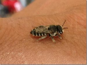 Leafcutter bees are beneficial and friendly insects, good for the environment