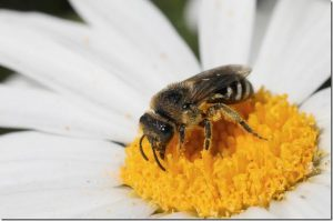 Leafcutter bee collecting pollen from a daisy