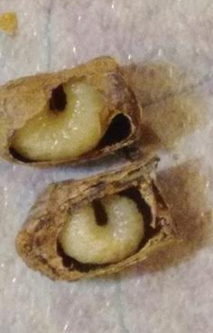 Live larvae in dormancy
