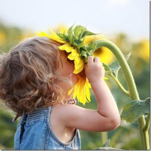Children can get close leafcutter bees without worry - child and a sunflower