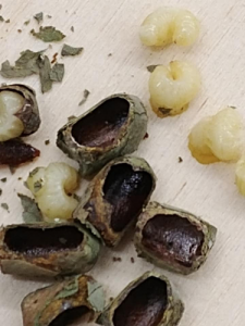 Bee cocoons and the larvae found inside